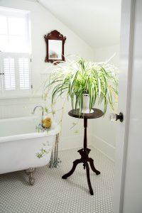 Chlorophytum comosum planta de decoración