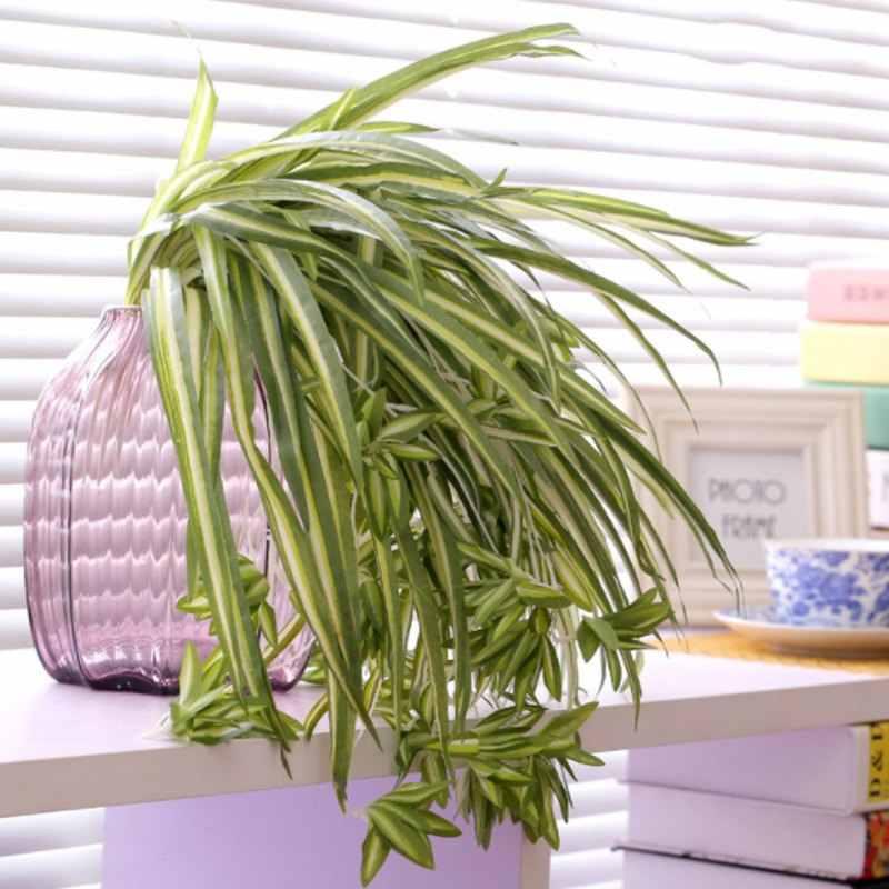 Chlorophytum comosum planta para cuidar en casa