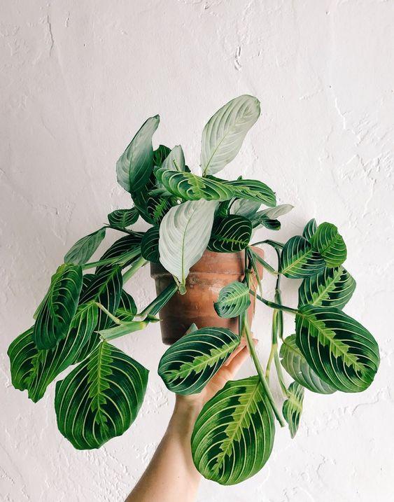 Maranta Leuconera planta de decoración