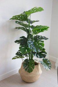 Monstera Deliciosa planta para decorar