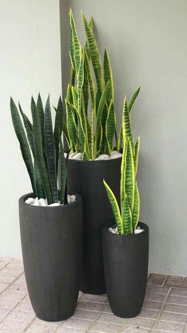 Sansevieria trifasciata planta de decoración