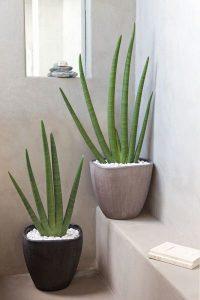 Aloe Vera planta de decoración